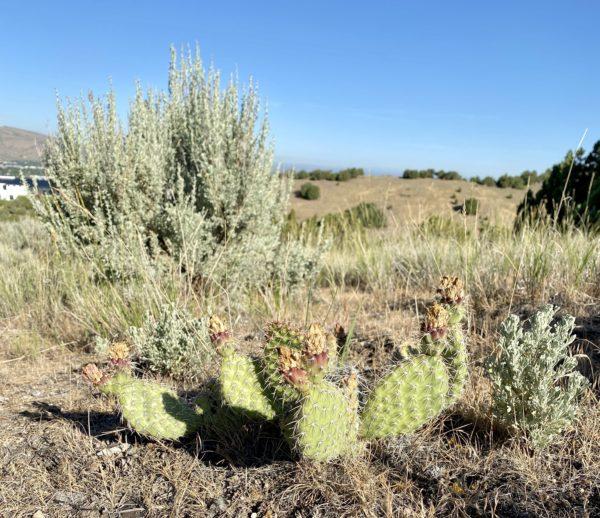 Cacti in Idaho