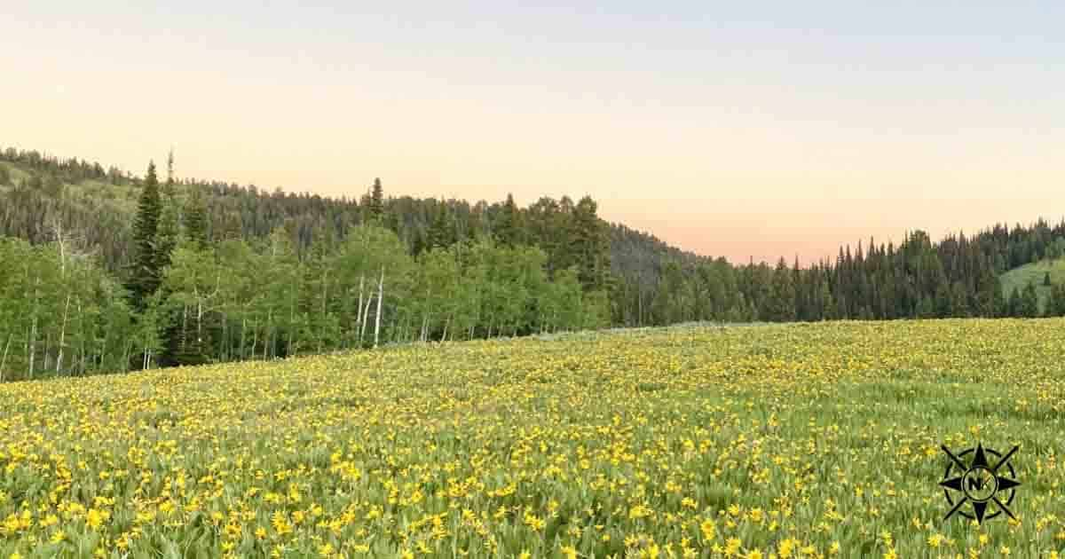 Field of yellow flowers in Montana