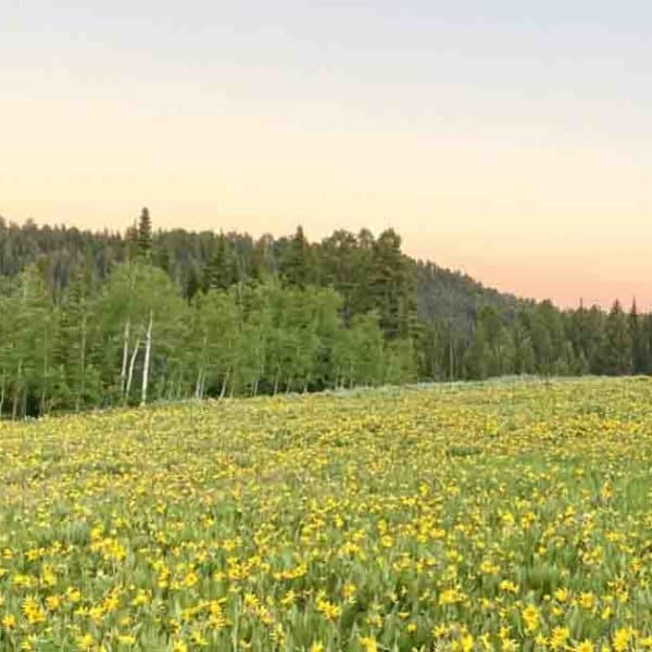 Field of yellow flowers in Montana
