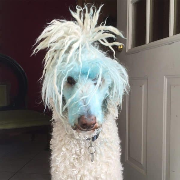 Bubba the dog with blue dye on face
