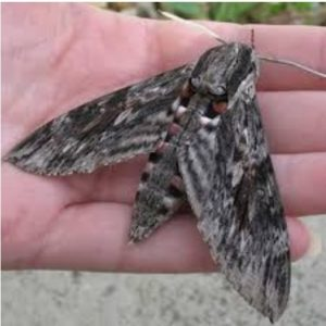 Giant moth against a man's hand; the moth is almost as big as the hand.