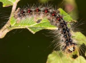 A giant gypsy moth caterpillar that is said to be invading Washington State, innocently grazing on a green leaf.