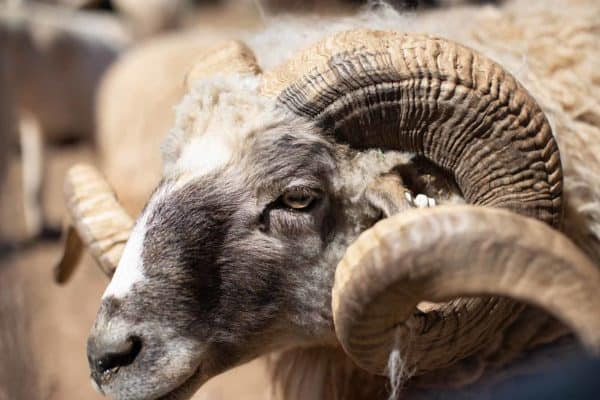 Picture of a ram in Nomadic Knits creative knitting magazine